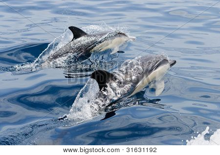 Synchronized swimming of two common dolphins next to boat poster