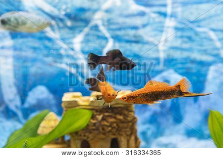 Black And Gold Fish In An Aquarium. Colorful Fish In The Aquarium. Beautiful Fish In The Aquarium, G