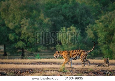 An Angry Looking Female Bengal Tiger Charging Over Prey With Expression In A Green Background In Pos