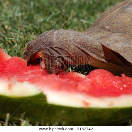 Tortoise Eatting