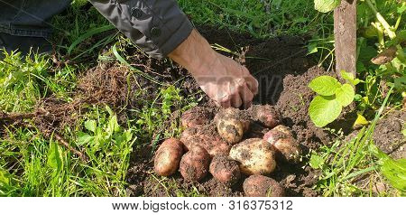 A Man Is Harvesting Potatoes. Potatoes In The Ground. Growing Potatoes.