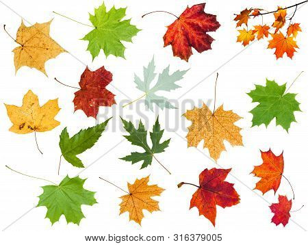 Collection Of Various Leaves Of Maple Trees Isolated On White Background