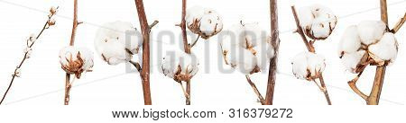 Collection Of Dried Twigs Of Cotton Plant With Cottonwool Isolated On White Background