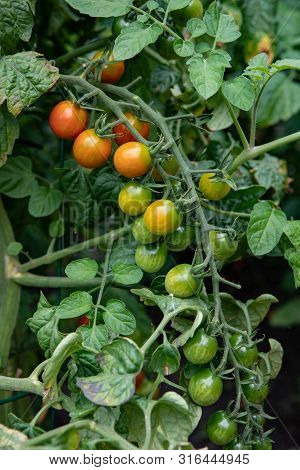 Food Category Fresh Unripe Vine Tomatoes Growing