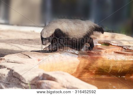 Honey Badger Mellivora Capensis Is Known For Being Tough