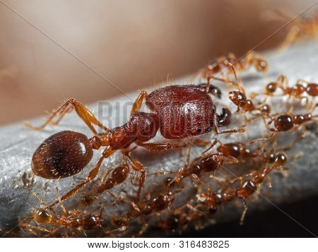 Macro Photography Of Soldier Big-headed Ant With Group Of Worker Ants
