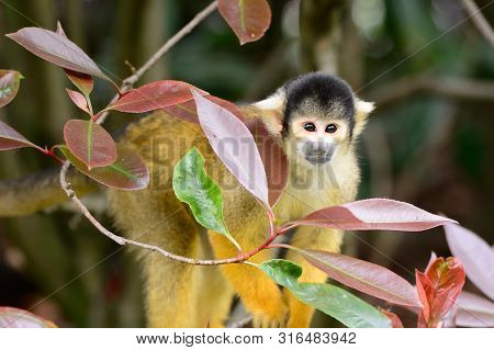 Portrait Of A Common Squirrel Monkey (saimiri Sciureus) Climbing In A Tree