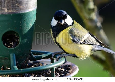 Portrait Of A Great Tit (parus Major) Feeding On A Bird Feeder
