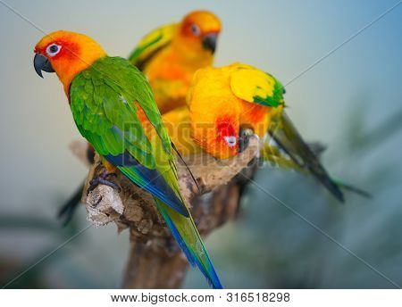 Sun Parakeet, Aratiinga Solstitialis,colorful Birds Perched On A Tree Branch