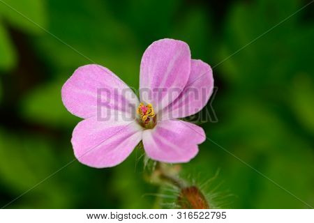 Macro Shot Of A Herb-robert (geranium Robertianum) Flower