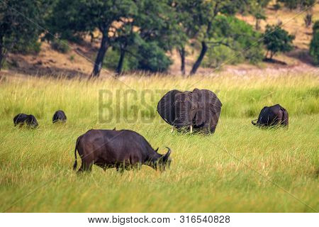 Elephant And Buffalos Grazing In Chobe National Park Near The Chobe River In Botswana