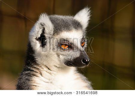 Head Shot Of A Ring Tailed Lemur (lemur Catta)
