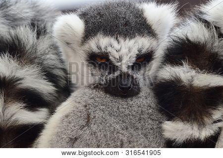 Close Up Of Ring Tailed Lemurs (lemur Catta) Cuddling