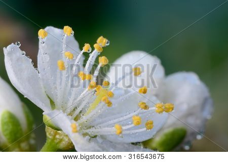 Macro Shot Of A Sloe Blossom Flower Covered In Water Droplets