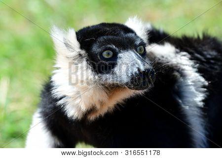 Close Up Portrait Of A Black And White Ruffed Lemur (varieca Variegata)