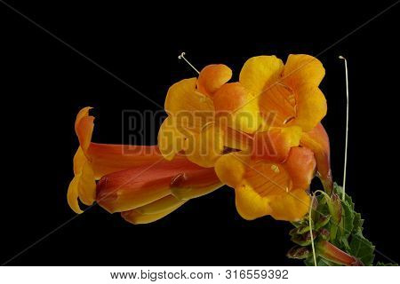 Orange, Yellow Blossom, Tecoma Capensis, On Black Background, Macro
