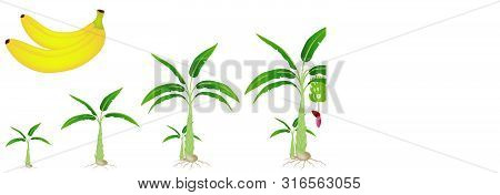 A Growth Cycle Of A Banana Plant Isolated On A White Background.