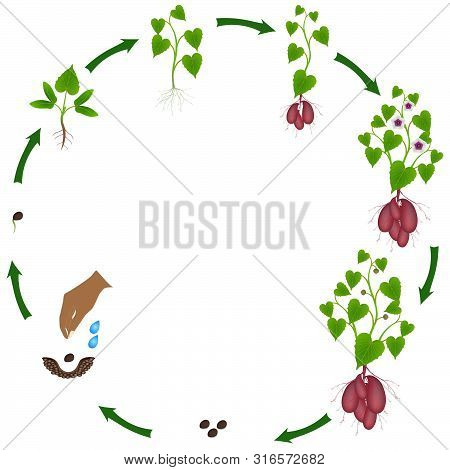 A Growth Cycle Of Sweet Potato Plant On A White Background.