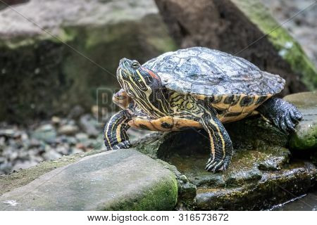 Pond Slider Or Trachemys Tortoise Sits On A Stone On The Shore Of The Pond. Trachemys Scripta