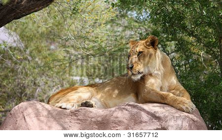 Single Lioness On Rock