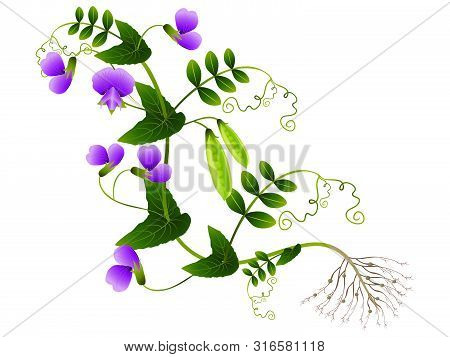 Plant Peas With Roots On A White Background.