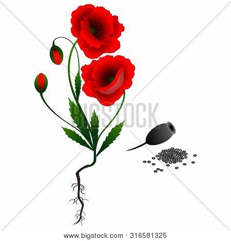 A Poppy Plant With Seeds Isolated On White Background.