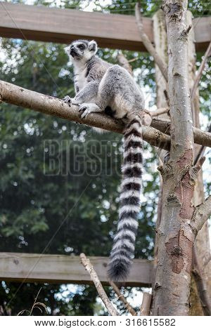 Lemur Catta, Also Known As The Ring-tailed Lemur On The Tree