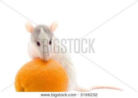 Rat With Orange