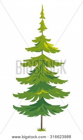 One Green Tiny Spruce Tree Illustration, White Spruce Evergreen Coniferous Tree In Side View Isolate