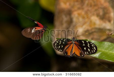 Yellow Tiger Longwing Butterfly And Red Postman Butterfly
