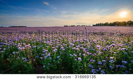 Field Of Phacelia In Northumberland, A Quick Growing Green Manure Crop Which Attracts Insects And Be