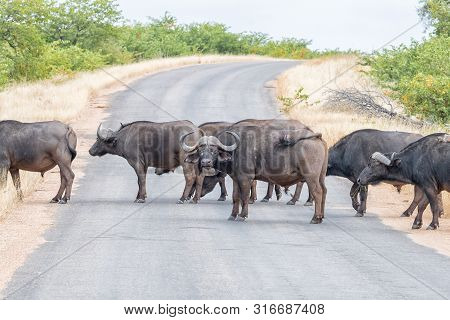 A Herd Of Cape Buffaloes, Syncerus Caffer, Crossing A Road