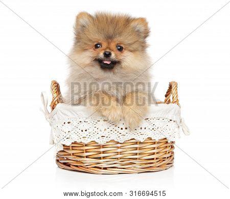 Pomeranian Spitz Puppy Posing In Wicker Basket On White Background. Baby Animal Theme