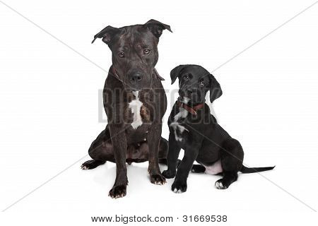Two Mixed Breed Dogs