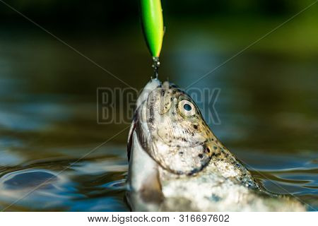 Fishing With Spinning Reel. Brown Trout Being Caught In Fishing Net. Trout. Lure Fishing. Fishing -