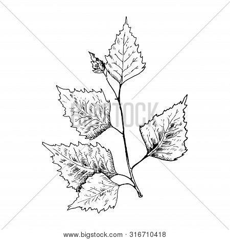 Birch Sketch. Hand Drawn Black Birch Tree Branch, Birch Leaf. Sketch Style Vector Illustration.