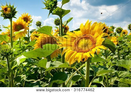 Blooming Sunflower. Flowers Yellow Sunflower And Sky With Clouds.