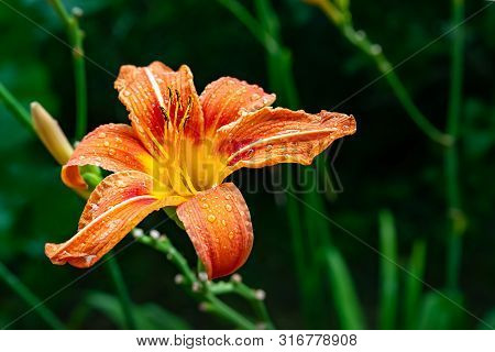Orange Daylily Flowers With Raindrops On Petals. Flowers On A Natural Blurred Background In Rainy We