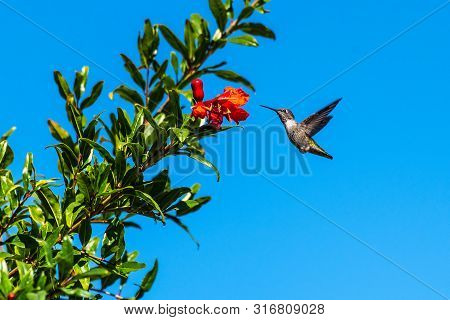 Cute Rufus Hummingbird Hovers Close To The Pomegranate Fruit For A Taste Of Morning Nectar.