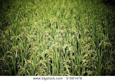Asian paddy plant