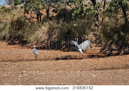 Australian Brolga couple court at a swamp in Western Australia  poster