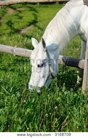 Close-up of a white horse eating grass poster