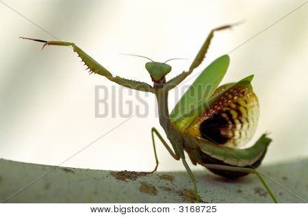 Praying Mantis In A Defense Position