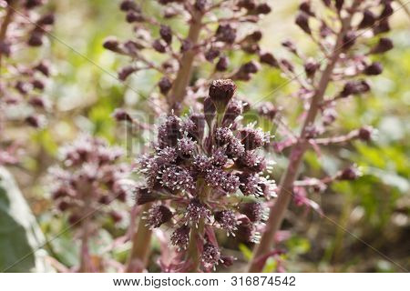 Blossoms Of The Common Butterbur (petasites Hybridus). Bloom In Earlly Spring With Pink Purple Flowe