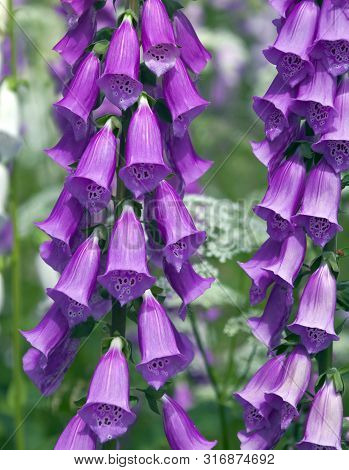 Blooming Foxglove. Flowers, Leaves, Stems, Inflorescence Of Digitalis.  Inflorescences Of A Decorati