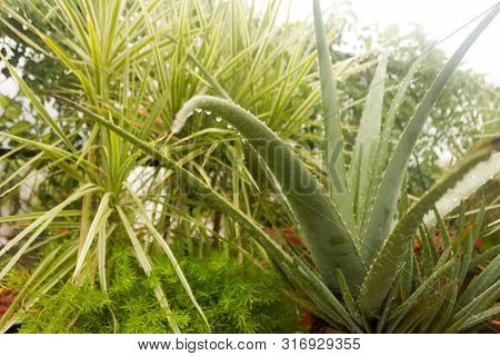 Spiky Agave variegated plant (Agave tequilana) with water on leaves after rainfall. Sprinkle drizzle mist shower of raindrops on Tree leaves. Rain drops precipitation rainwater. Wet weather background poster