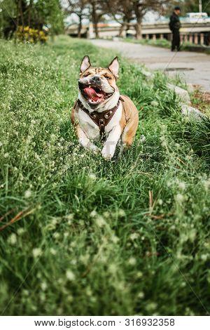 Running Dog Outdoors On Sunny Summer Day. Funny Smiling English Bulldog. Cute Young English Bulldog