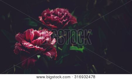 Moody Floral Dark Background. Mystical Deep Red Purple Flower On Black Background.