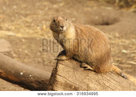 A Prairie Dog Sitting On The End Of Log. Probability Watching Predators.