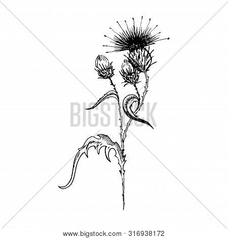 Thistle Flower Sketch. Hand-drawn Black Flowers Of Thistle With Leaves, Isolated On White Background
